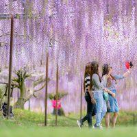 白毫寺,藤の花,α7rii,sel85f14gm