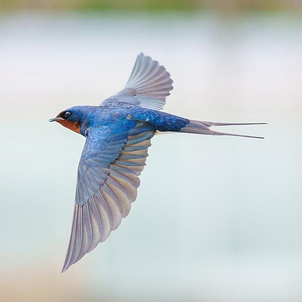 α1で撮る!,野鳥写真,ツバメ,エナガ,ilce-1,α1